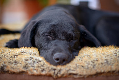 Portrait of sleeping black Labrador puppy - p300m1113214f by Mark Johnson