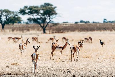 Eine Herde Springböcke, Kalahari, Afrika - p1065m982599 von KNSY Bande