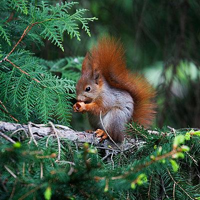 Kleines Eichhörnchen - p415m1208321 von Tanja Luther