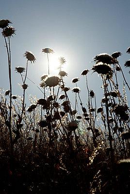 Vertrockente Blumen - p4620126 von BHarman