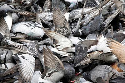 Große Taubengruppe kämpft miteinander - p4903387 von Tobias Thomassetti