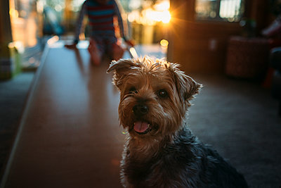 Portrait of Yorkshire Terrier at home with boy in background - p1166m1403030 by Cavan Images