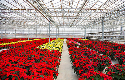 Rows of multi-coloured poinsettias that were grown in a greenhouse operation nearing the Christmas season; St. Albert, Alberta, Canada - p442m2003975 by LJM Photo