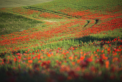 Poppies blooming in countryside meadow - p300m2290459 by Anke Scheibe