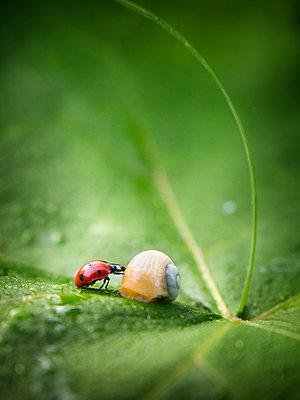 Close up of ladybug and snail on leaf - p555m1444049 by Oleksandr Chornyi