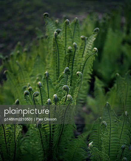 Fern leaves at spring - p1481m2210531 by Peo Olsson