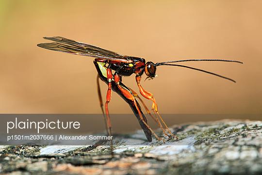 Schlupfwespe (Podoschistus scutellaris) - p1501m2037666 von Alexander Sommer