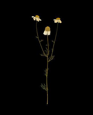 Gepresste Kamille vor schwarzem Hintergrund - p436m1445505 von R. Petersen