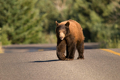 Bear Crossing A Road In Waterton Lakes National Park; Alberta Canada - p442m699841f by Philippe Widling