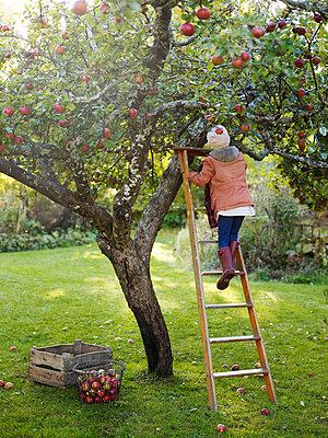 Girl on ladder picking apples, Varmdo, Uppland, Sweden - p528m875612 by Anna Kern