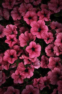 Pink flowers - p1235m2214804 by Karoliina Norontaus