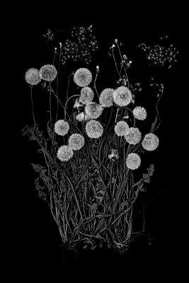 Blowballs, dandelion against black background  - p1366m2260569 by anne schubert