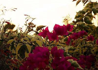 Blütenpracht in der Dämmerung - p606m885538 von Iris Friedrich