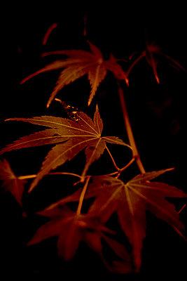 Japanese maple leaves (Acer palmatum) - p1028m2258572 by Jean Marmeisse