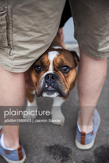 Schüchterne Bulldogge - p045m1589563 von Jasmin Sander