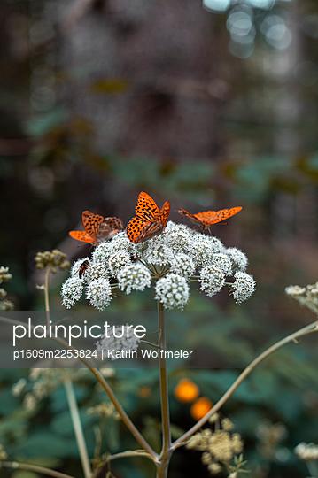 Three Fritillary butterflies - p1609m2253824 by Katrin Wolfmeier