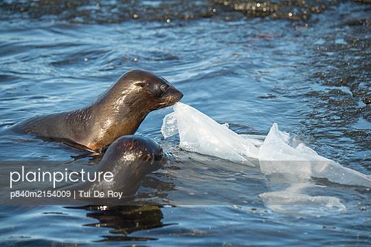 Galapagos fur seal (Arctocephalus galapagoensis) pups playing with plastic sheeting, Galapagos. - p840m2154009 by Tui De Roy