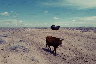 Eine Kuh im vertrockneten Aralsee - p1189m2176165 von Adnan Arnaout