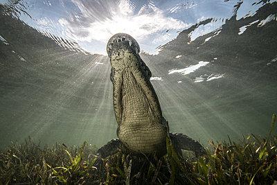 American crocodile (crocodylus acutus) in shallows, low angle view, Chinchorro Banks, Xcalak, Quintana Roo, Mexico - p429m2004481 by Rodrigo Friscione