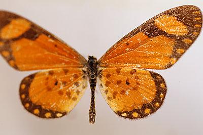 Macro Butterfly - p1054m2278035 by Maria Kazvan