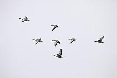 Kanadagänse fliegen in V-Formation II - p235m877581 von KuS