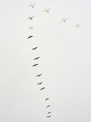 Birds in flight - p312m2080082 by Jan Töve