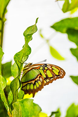 Green and brown Malachite Siproeta Stelenes butterfly hanging under a leaf - p1302m2133306 by Richard Nixon