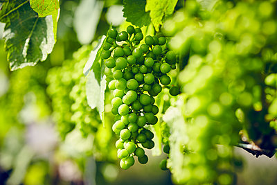 Vine with green grapes - p1312m1333153 by Axel Killian