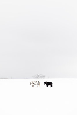 Horses in snow covered field - p352m2120077 by Åke Nyqvist
