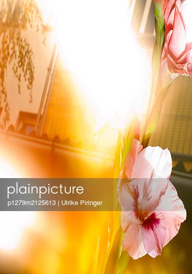 Gladiolus - p1279m2125613 by Ulrike Piringer