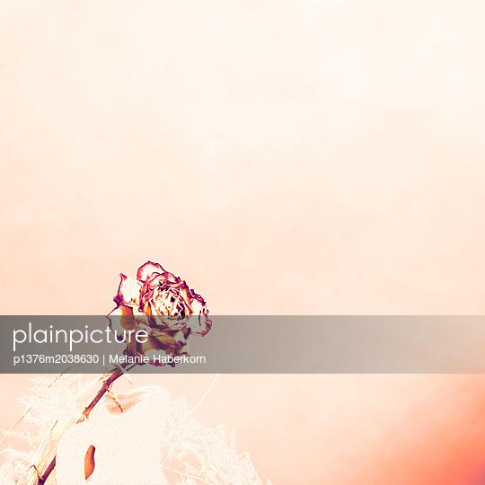 Getrocknete Rose - p1376m2038630 von Melanie Haberkorn