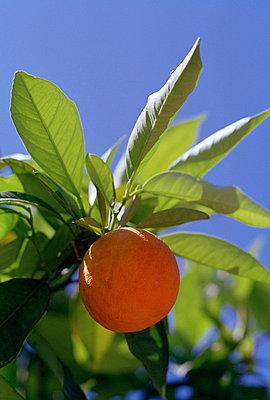An orange tree Majorca. - p31217495f by Alexander Crispin