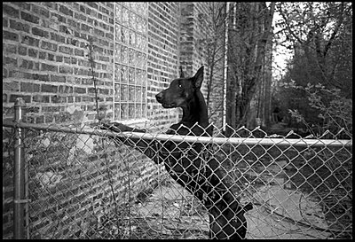 Doberman standing on hind legs behind fence - p3720062 by G A Weitz