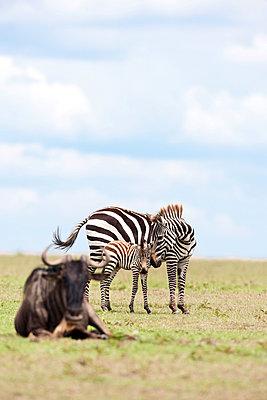 Zebras and wildebeest - p533m1225551 by Böhm Monika