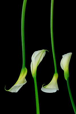Calla lily  VIII - p977m1003316 by Sandrine Pic