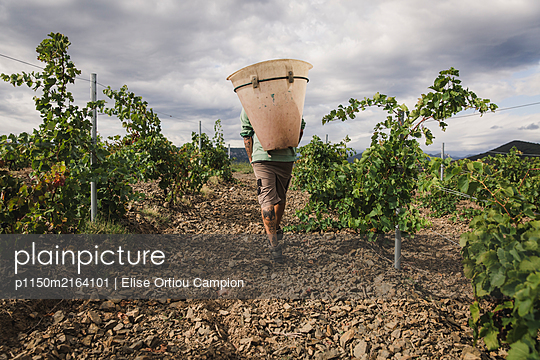 Man working in a vineyard - p1150m2164101 by Elise Ortiou Campion