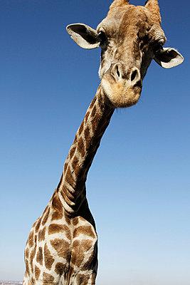 Giraffe - p9380057 by Christina Holmes