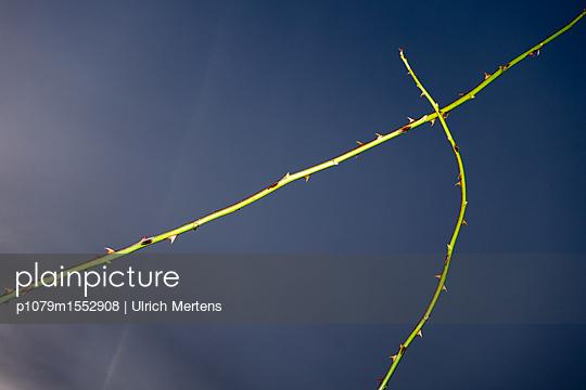 Dornenzweig vor Gwitterhimmel - p1079m1552908 von Ulrich Mertens