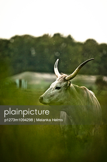 Weißer Bulle im Gras - p1273m1094298 von melanka