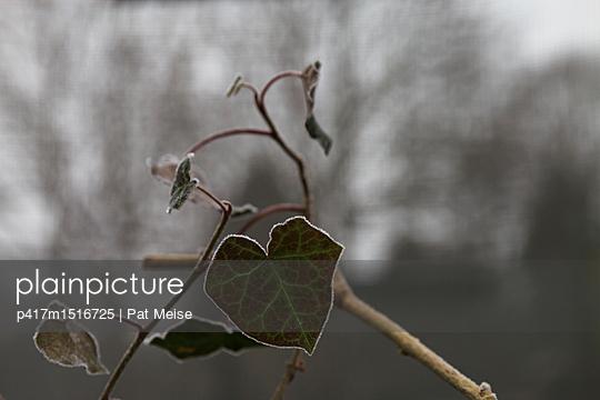 Efeu - p417m1516725 von Pat Meise