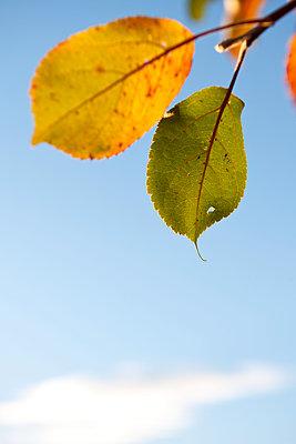Autumn leaves - p533m1111572 by Böhm Monika