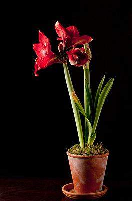 Blühende Amaryllis in einem Tontopf - p8420055 von Renée Del Missier