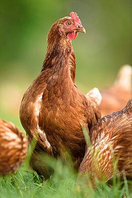 Freilandhühner - p1273m1578257 von melanka