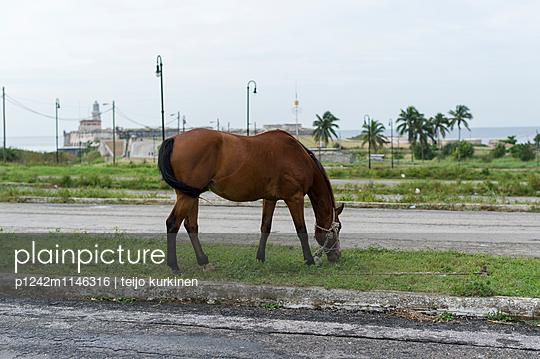 Pferd, Kuba - p1242m1146316 von teijo kurkinen