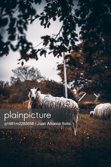 Two sheep - p1681m2283658 by Juan Alfonso Solis