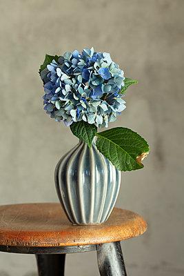 Große blaue Hortensienblüte in kleiner blauer Vase auf Holzschemel vor grauer Wand. - p948m2134942 von Sibylle Pietrek