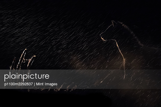 A spotted hyena, Crocuta crocuta, stands in the darkness lit up by a spotlight - p1100m2292837 by Mint Images
