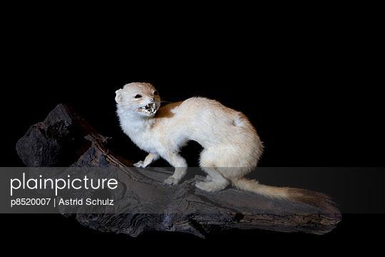 Hermelin - p8520007 von Astrid Schulz