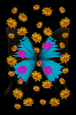 Computer generated abstract pattern of orange hawkweed flowers overlaid on blue butterfly wings against black background - p1047m2253664 by Sally Mundy