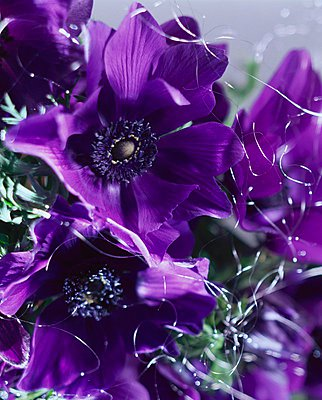Bunch of purple anemones - p1183m996303 by Arras, Klaus